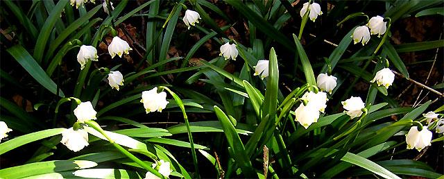 Märzenbecher in voller Blüte
